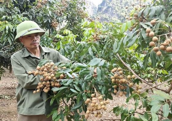 Anh Phùng Văn Cường, thôn Chùa xã Yên Thịnh đang kiểm tra vườn cây ăn quả chuẩn bị vào vụ thu hoạch.jpg